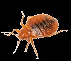 Medium bedbug